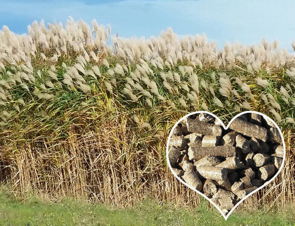 Miscanthus for Biomass Pellets